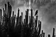 """When nobody sees me, I can be or not be ...""Pablo R. Alonso (@pabloralonso) Tags: mirlo pajaro nature asturias sanjuandelaarena bajonalon sombra sadow bird siluette silueta niebla frog bokeh blancoynegro blackandwhite bw blackwhite"