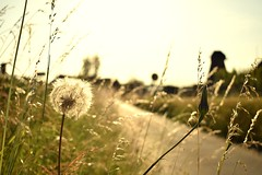 Light... (Maria Godfrida) Tags: landscape green nature grass herbs weed light summer dandelion herb weeds bokeh country countryside 7dwf