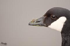 Grass muncher (DevilFishMark) Tags: a700 2010 bird castlefield grassmuncher goose grass munch eat beak beady