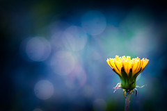"""Seek the strongest color effect possible...the content is of no importance."" (CarolynsHope) Tags: blue flower color yellow dark colorful dof bokeh dandelion complementary simplicity simple vingette"