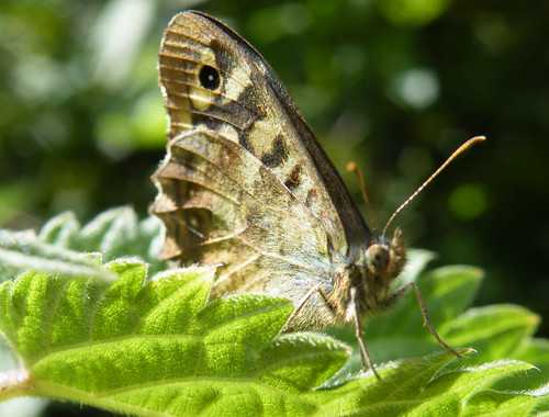 speckled wood closed wing