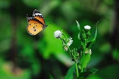 butterfly-3 ( H.D) Tags: butterfly nikon taiwan  70200vr d3x bestcapturesaoi dblringexcellence tplringexcellence artistoftheyearlevel3 artistoftheyearlevel4 artistoftheyearlevel5 artistoftheyearlevel7 artistoftheyearlevel6