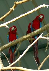 red and green macaws couple (Maria Chanourdie) Tags: bird argentina birds animal zoo parrot animales pajaro coloured loro cotorra colorido zoologico temaiken sonydslra100