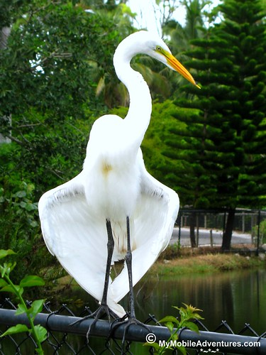 IMG_2159-Egret-Naples-Zoo-Florida