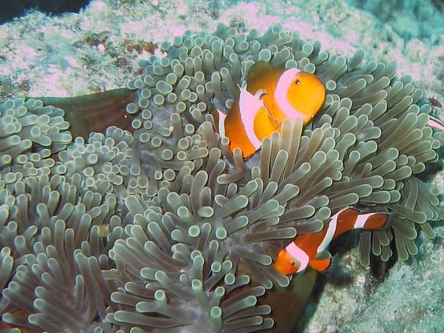 Clownfish and anemone, Kapalai, Malaysia