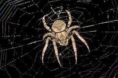 Devil Spider In Web At Night, Araneus ventricosus,  (aeschylus18917) Tags: park macro nature japan night tokyo spider nikon nocturnal g web spiderweb orb micro   koen nikkor  f28 nerima vr pxt arachnida orbweaver araneus araneae potofgold 105mm nerimaku 105mmf28  shakuji  araneidae shakujikoen macrolicious  105mmf28gvrmicro d700 nikkor105mmf28gvrmicro  shakujipark  macrolife devilspider  danielruyle aeschylus18917 danruyle druyle   demonspider araneusventricosus