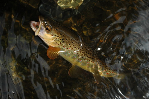 Gunpowder Colorful Brown Trout