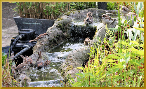 Sparrows at the Pond Waterfall 2