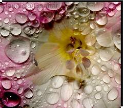 "...""Drops""... (Claudio Gennari ...""Cogli l'attimo ferma il tempo"") Tags: flowers rome color nature water drops natura dettagli fiori detalis 200macro macrolife nikod3 claudiogennari petaliu"