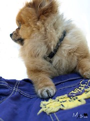 Marco Antonio (Normus_) Tags: dog pet beautiful look fashion fun soldier army outfit clothing cool nice pretty s