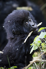 Baby gorilla (markgsmith) Tags: africa park family copyright mountain net photography gorilla mark smith rwanda national virunga beringei umubano wwwmarksmithphotographynet marksmithphotography notforuseorreproductionwithoutpriorwrittenconsent