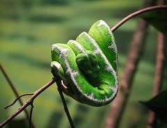 Emerald Tree Boa (mjkjr) Tags: atlanta usa green canon ga reptile snake handheld zooatlanta telephotolens greenpitviper 550d ef70200mmf4lusm t2i mjkjr httpwwwflickrcomphotosmjkjr