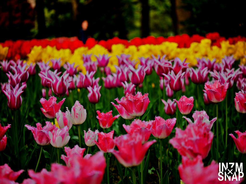 Tulip - Fake HDR