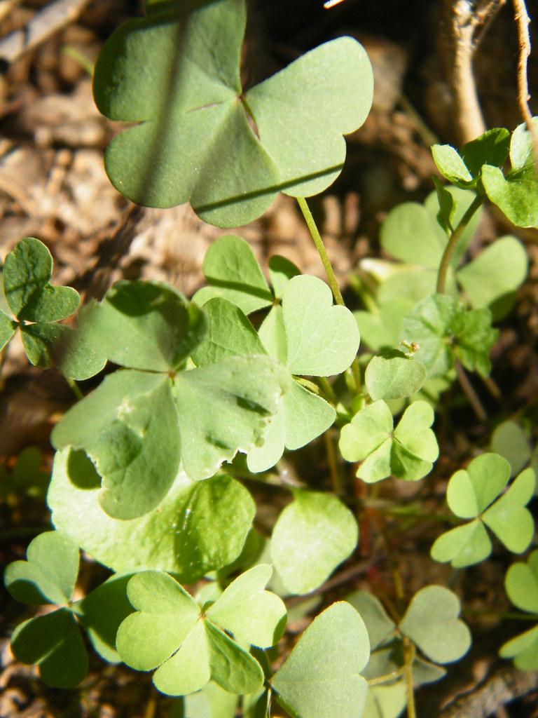 how to kill shamrock weeds