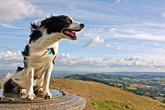 Wind In His Fur (meg price) Tags: summer sky dog pet clouds collie border malvern worcestershire bordercollie barney malvernhills thebeacon mywinners