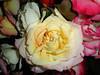 AF148 Yellow Rose (listentoreason) Tags: usa plant flower nature rose closeup america md unitedstates maryland places olympus gaithersburg d360l rosales floweringplant angiospermae dicot magnoliophyta magnoliopsida angiosperm olympusd360l score20 eudicot eudicotyledon