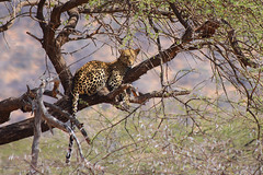 Leopard's dinner - Part 2/5: Disturbed (jensvins) Tags: africa wild tree cat kenya wildlife leopard samburu threatened iucn
