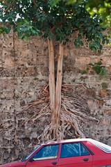 from death comes life (ion-bogdan dumitrescu) Tags: lebanon tree cemetery wall beirut bitzi ibdp mg5872 gettyvacation2010 ibdpro wwwibdpro ionbogdandumitrescuphotography