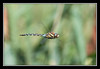Migrant Hawker (Full Moon Images) Tags: lake macro nature insect fly flying dragonfly wildlife flight bedfordshire priory hawker migrant