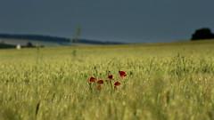 en campagne (lachaisetriste) Tags: nature fleur nikon été paysage campagne champ flore touraine d700 bokehphotography expressyourselfaward ☆thepowerofnow☆