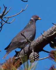 Band-tailed Pigeon Photo