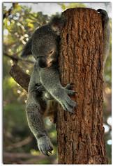Koala (mcgin's dad) Tags: sydney australia koala nsw tarongazoo thegalaxy canon450d ringexcellence