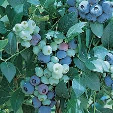 Ozarkblue blueberries