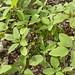 Haitian Spinach