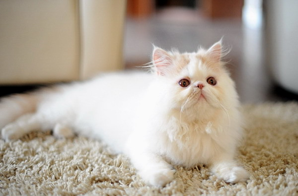 cute persian kitten simba pic