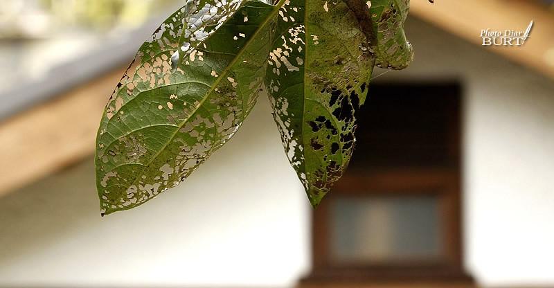 被蟲柱的柿子葉