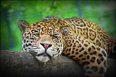 jaguar (heavenuphere) Tags: saintaignan staignan loiretcher centre france zooparcdebeauval zooparc beauval zoo jaguar big cat 55250mm gi 3