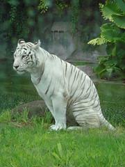 LLOVIENDO (ANGE UNIQUE) Tags: blanco tigre tigreblanco