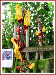 Thunbergia mysorensis (Clock Vine, Lady's Slipper Vine, Brick & Butter Vine)