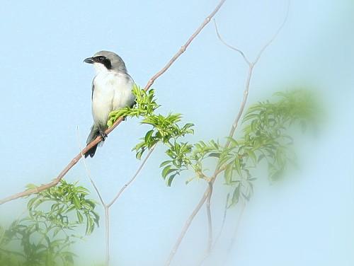 Loggerhead Shrike 20100919