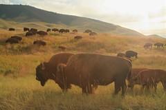 em_0753 (alpinebob2001) Tags: buffalo nationalbisonrange moiesemontana americanbision