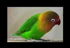 Pfirsichköpfchen - 5 (roba66) Tags: bird animal animals zoo tiere tierpark tier vogel wilhelma pfirsichköpfchen thewonderfulworldofbirds lovely~lovelyphoto roba66 bawürtt