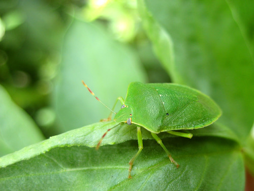 Green vegatable bug