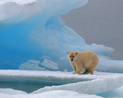 Polar Bear, Resolute Bay (Ballygrant Boy) Tags: bear sea canada ice nikon wildlife arctic polarbear iceberg polar nunavut arcticcircle resolutebay d80 specanimal platinumphoto colorphotoaward 70300vr aboveandbeyondlevel1