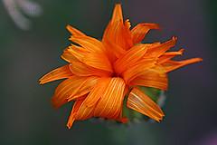 Quien soy? (Urugallu) Tags: flores macro canon flora flickr merida extremadura caceres mimamorflowers urugallu theoriginalgoldseal