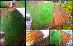 'Emerald dove' (YAZMDG (16,000 images)) Tags: green nature fauna forest rainforest pigeon australia aves nsw byronbay yaz hinterland columbidae emeralddove chalcophapsindica northernrivers columbiformes rainbowregion chalcophaps goonengerry yazminamicheledegaye northernriversspecies yazmdg