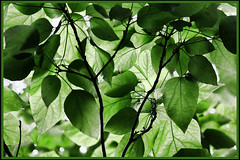 Green Leaves (Brian 104) Tags: green leaves shadows mosaic lush flickrduel