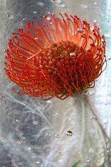 Bubbly : ) (Arabesque20) Tags: life orange flower water yellow happy bubbles oxygen exotic bubble tropical sunburst pincushion bubbly protea tropicalflower exotique exoticflower pincushionsunburstprotea