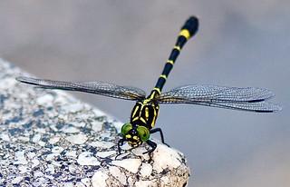 Sieboldius albardae, コオニヤンマ Kooniyanma