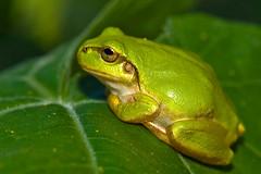 Green Tree Frog Profile (aeschylus18917) Tags: danielruyle aeschylus18917 danruyle druyle ダニエルルール ダニエル ルール japan 日本 nikon d700 105mmf28gvrmicro 105mmf28 105mm micro macro nature amphibian frog nagano 長野県 ueda 上田市 別所温泉 besshoonsen wildlife natuer treefrog amphibia anura hylidae hyla hylajaponica ニホンアマガエル japanesetreefrog nikkor105mmf28gvrmicro neobatrachia hylinaehyla カエル アマガエル hylinae naganoprefecture pxt edit