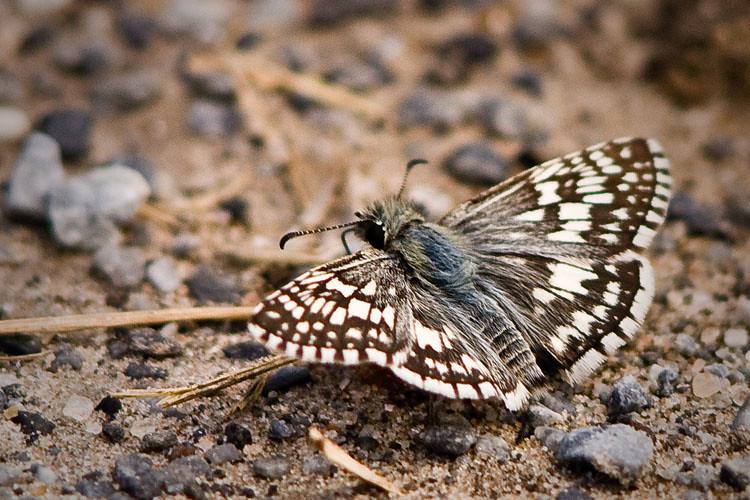 Butterfly Macro Sml