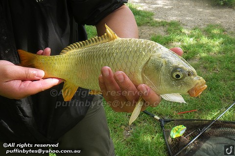 Ghost Carp - Cyprinus carpio