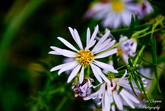 Wild Flower (◄Chapy►) Tags: flower green yellow novascotia purple sony violet a200 wildflower bigmomma gamewinner thechallengefactory petechapy