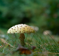 Yellow Top (Paul Broderick) Tags: usa mushroom flyagaric amanitas platinumphoto nikond90 flyagaricamanitamuscaria