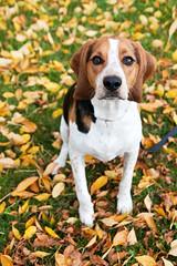 Floyd amongst the Fall foliage (Paguma / Darren) Tags: autumn dog fall leaves hound foliage floyd tamronspaf1750mmf28xrdiiildasphericalif
