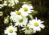 Daisies (A Great Capture) Tags: trip travel flowers vacation white west flower green yellow daisies bc britishcolumbia daisy westcoast tripwithmom ald ash2276 ashleyduffus ©ald vancouver2010b ashleysphotographycom ashleysphotoscom ashleylduffus wwwashleysphotoscom